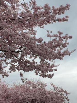 Cherryblossoms April.2020